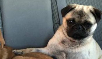 Mr. Puggles relaxes following his time on Global News Morning looking for his forever home.