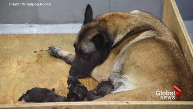 Hero police dog does it again: Ceto tracks and saves injured assault victim - Winnipeg