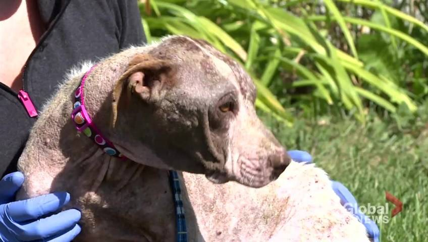 Pit bull ban adds extra challenge to finding Winnipeg rescue dog a new home - Winnipeg