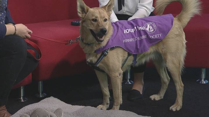 Shadow walking around the Global News Morning set for the latest edition of Adopt A Pal.