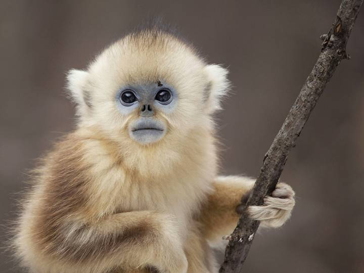 A yellow snub-nosed monkey makes an appearance in 'Seven Worlds, One Planet.'