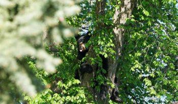Bear in Winnipeg neighbourhood back in wild, unharmed: Conservation - Winnipeg