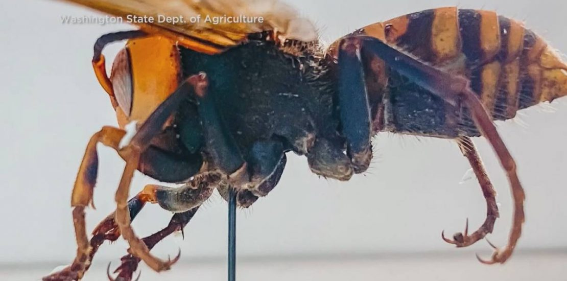 Giant hornets not likely to come to Manitoba, according to entomologist - Winnipeg